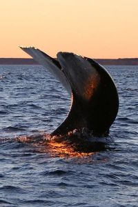 Southern right whale (Peninsula Valdés, Argentina) Michaël Catanzariti