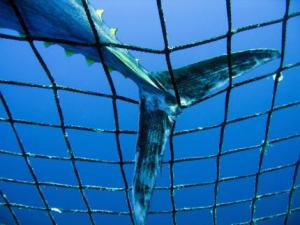 Bluefin caught in net, photograph Greenpeace
