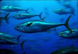 bluefin tuna_photographer Greenpeace