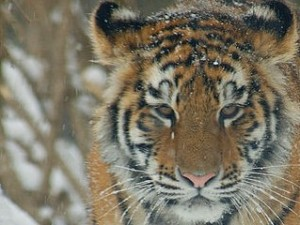 Siberian-Tiger-cub_photographer-PittsburghZoo.