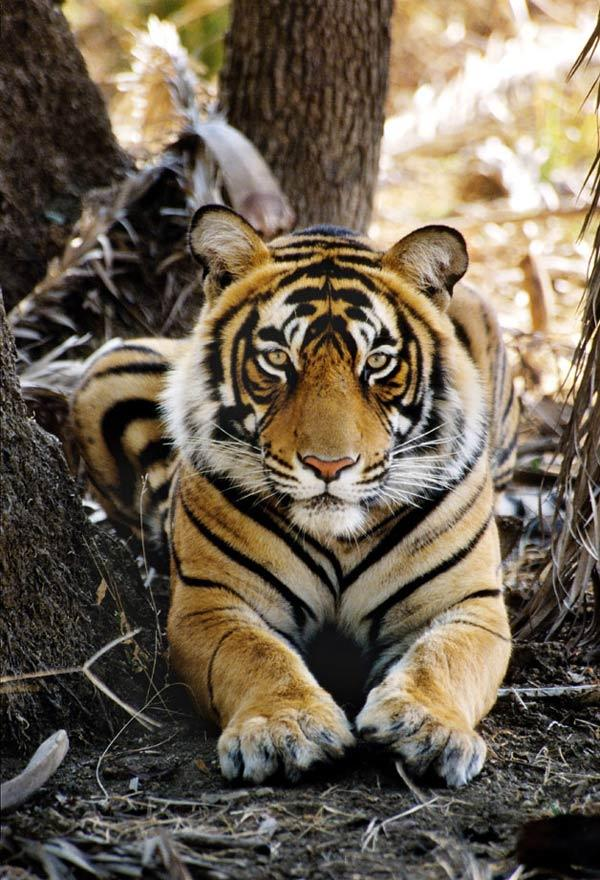 Tiger: photographer - Vivek R. Sinha-WWF